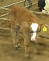 Mooooooo Said the Baby Calf