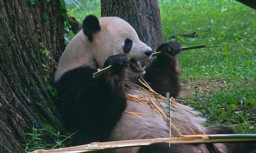 Panda Update is Good News ... Unless You're the Bamboo!