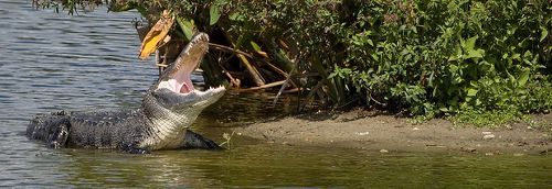 A Yawning Gator ... Now, That's Interesting!