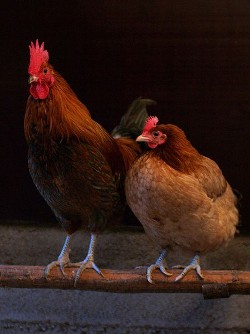 SEO and Social Media Chicken Poop